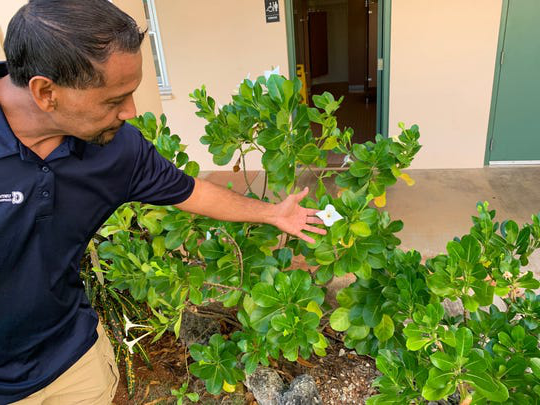 A UOG extension agent displays a Guasali flower growing outside his office 在 the mangilao campus.