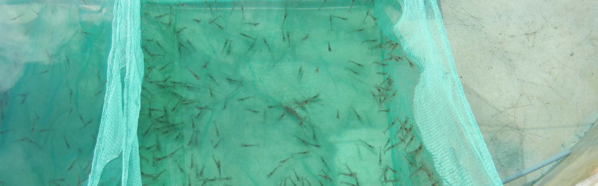 Dr. Hui Gong Jiang conducts research on shrimp families and salinity preferences.
